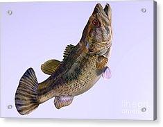 Largemouth Bass Side Profile Acrylic Print by Corey Ford