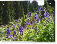 Larkspur Along Trail Ridge Road Acrylic Print