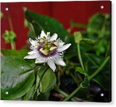 Last Lilikoi Flower Of The Season Acrylic Print by Heidi Fickinger