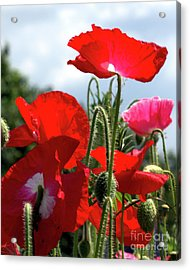 Acrylic Print featuring the photograph Last Poppies Of Summer by Baggieoldboy