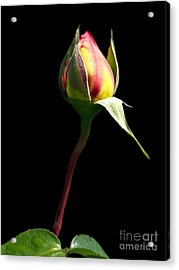 Last Rose Of Summer Acrylic Print by Kathy Jennings