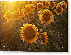 Late Afternoon Golden Glow Acrylic Print