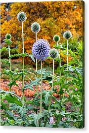 Late Bloom Among Fall Colors Acrylic Print