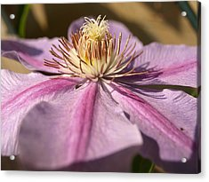 Late Season Bloom - 1 - Clematis Acrylic Print