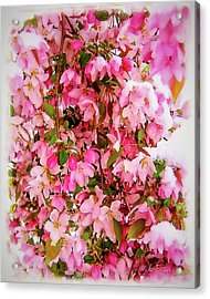 Late Snow Early Flowers Acrylic Print