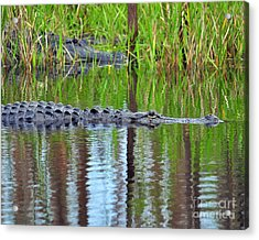 Acrylic Print featuring the photograph Later Gator by Al Powell Photography USA