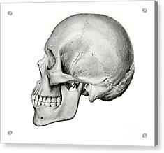 Lateral View Of Human Skull Acrylic Print