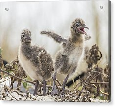 Acrylic Print featuring the photograph Laughing Gull Chicks by Paula Porterfield-Izzo