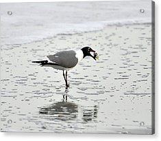 Laughing Gull Meal Acrylic Print by Al Powell Photography USA