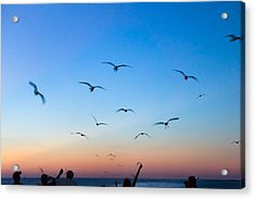 Laughing Gulls In The Evening Sky Acrylic Print