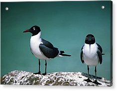 Acrylic Print featuring the photograph Laughing Gulls by Sally Weigand