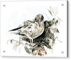 Lava Gull Acrylic Print