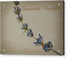 Lavandula Angustifolia Acrylic Print by Julia Wilcox