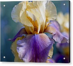 Lavender And Gold Iris Acrylic Print by George Ferrell