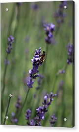 Lavender And Honey Bee Acrylic Print