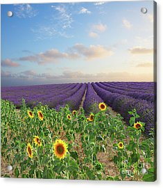 Lavender And Sunflower Flowers Field Acrylic Print