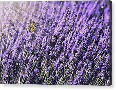 Acrylic Print featuring the photograph Lavender And Tiger Swallowtail In The Morning Light by Diane Schuster