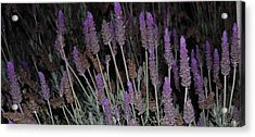 Lavender At Night Acrylic Print by Jean Booth