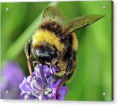 Lavender Bee Acrylic Print