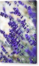 Lavender Blue Acrylic Print by Frank Tschakert