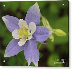 Lavender Blue Wild Columbine Acrylic Print