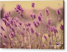 Lavender Dreaming ... Acrylic Print