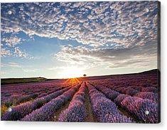 Lavender Acrylic Print by Evgeni Dinev