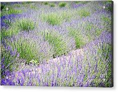 Lavender Field Farm Landscape Acrylic Print by Andrea Hazel Ihlefeld