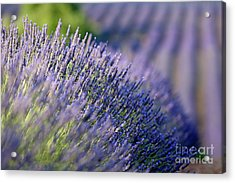 Lavender Flowers In A Field Acrylic Print by Sami Sarkis
