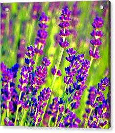 Lavender Flowers In Bloom Acrylic Print