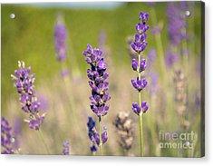 Lavender Flowers Acrylic Print by Sinisa CIGLENECKI