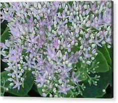 Lavender Lovelies Acrylic Print by Anne-Elizabeth Whiteway