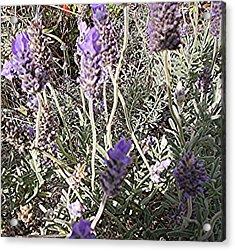 Lavender Moment Acrylic Print