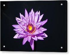 Lavender On Black Acrylic Print by William Thomas