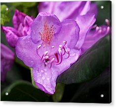Lavender Rhododendron Acrylic Print