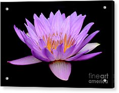 Lavender Tropical Day Lily Acrylic Print