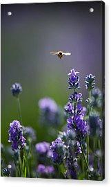 Lavender User Acrylic Print