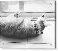 Laying Cat Cleaning Herself On Ground Black And White Color Acrylic Print by Siri