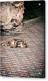 Acrylic Print featuring the photograph Lazy Cat    by Silvia Ganora