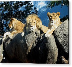 Lazy Day Lions Acrylic Print