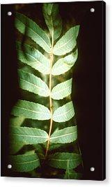 Leaf Frond Acrylic Print