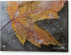 Leaf In Ice 3 Acrylic Print by Jim Wright