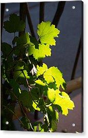 Leaf Light II Acrylic Print by James Granberry