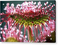 Leaf Of Sundew Acrylic Print by Nuridsany et Perennou and Photo Researchers