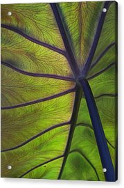 Leaf Veins Acrylic Print by Gene Ritchhart