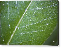 Leaf With Water Droplets Acrylic Print
