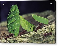 Leafcutter Ant Atta Cephalotes Workers Acrylic Print