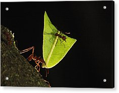 Leafcutter Ant Atta Sp Carrying Leaf Acrylic Print by Cyril Ruoso