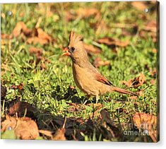 Acrylic Print featuring the photograph Leafy Cardinal by Debbie Stahre