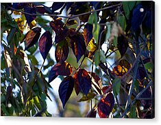Leafy Light Show Acrylic Print by Ross Powell